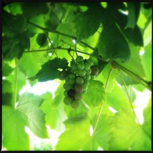 130905 druiven op de kade