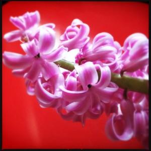 140216 hyacint