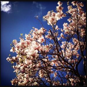 140323 magnolia