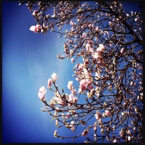 150402 bloeiende magnolia