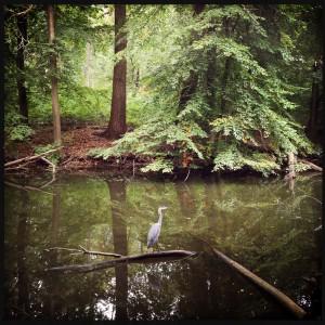 151003 reiger in het Haagse Bos