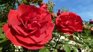 140521_29 rode rozen