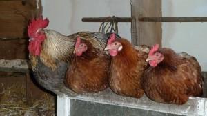 140521_29 kippen op stok