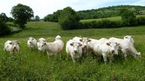 140521_29 nieuwsgierige koeien